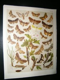 Kirby 1907 Hadena, Rusic & Minor Moths 40. Antique Print